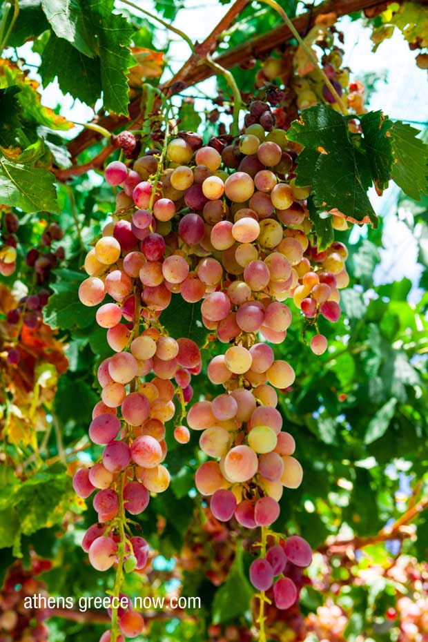 Muscat Grapes Greece